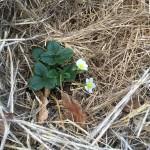 gite-ecolo-bebe-bretagne-lavilleheleuc-permaculture-fraisier-IMG_0590