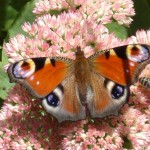 gite-ecolo-bebe-bretagne-nature-papillon-Inahhiso